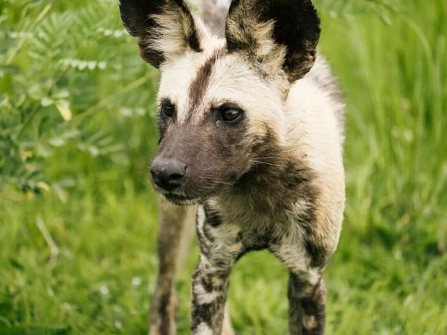 Wild dog pups a safari highlight